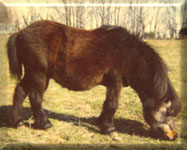 Little Man Sire to Jake Falabella